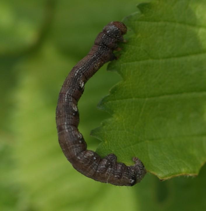 Scarce Umber larvae Copyright: Robert Smith