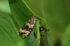 Celypha lacunana 3 Copyright: Ben Sale
