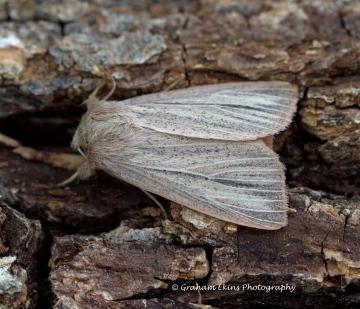 Striped Wainscot  Mythimna pudorina Copyright: Graham Ekins