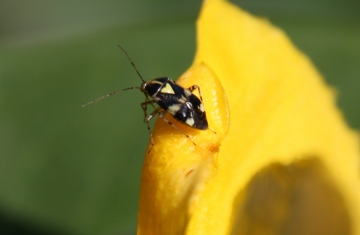 Liocoris tripustulatus Copyright: Paul Gymer