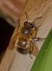 Anthophora plumipes April 2012 Copyright: Graham Ekins
