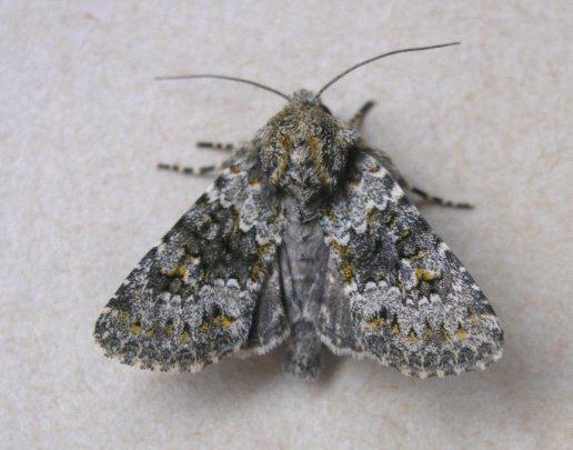 Small Ranunculus Copyright: Martin Anthoney