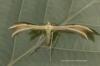 Merrifieldia baliodactylus Copyright: Graham Ekins