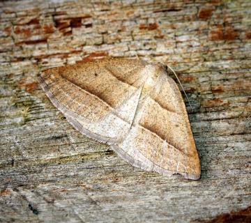 Brown Silver-line Moth Copyright: Ben Sale