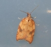 Acleris rhombana 2 Copyright: Ben Sale