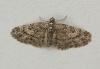 Larch Pug Eupithecia lariciata Copyright: Graham Ekins