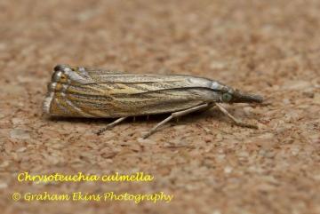 Chrysoteuchia culmella 2 Copyright: Graham Ekins