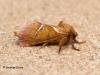 Orange Swift Triodia sylvina 1 Copyright: Graham Ekins