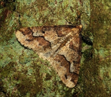 Mottled Umber 6 Copyright: Ben Sale