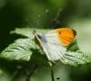 Orange Tip (m) Copyright: Robert Smith