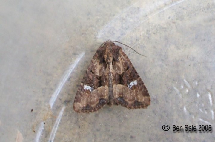 Common Rustic agg 2 Copyright: Ben Sale