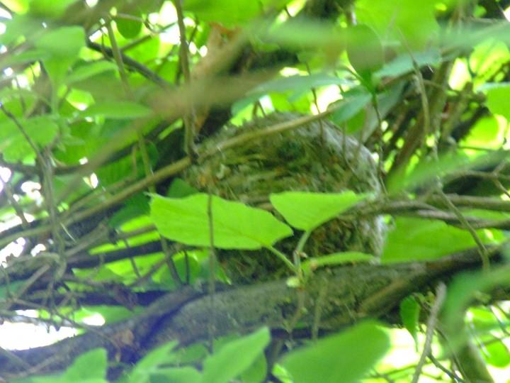 dormouse nest Copyright: Hazel Robson