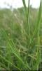 Bulpeurum tenuissimum leaf Copyright: Deborah Allan, 28-Jun-2007