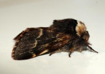 December Moth Copyright: Ben Sale