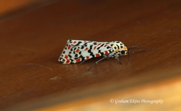 Crimson Speckled   Utetheisa pulchella Copyright: Graham Ekins