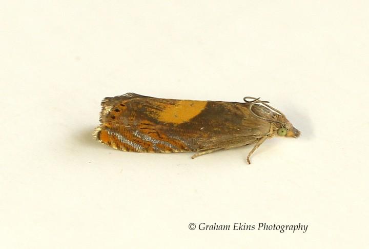 Dichrorampha alpinana  4 Copyright: Graham Ekins