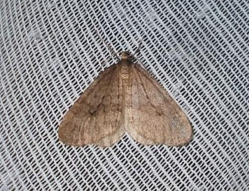 Northern Winter Moth Copyright: Ben Sale