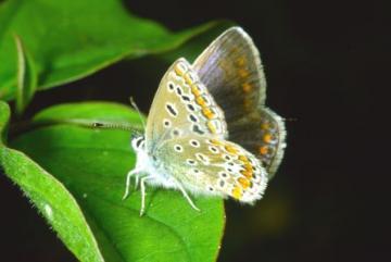 Polyommatus icarus Copyright: Peter Harvey