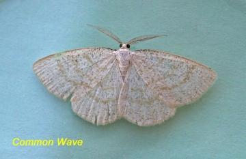 Cabera exanthemata   Common Wave Copyright: Graham Ekins