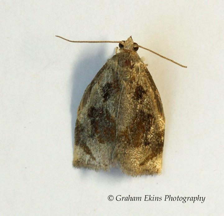 Archips crataegana 2 Copyright: Graham Ekins