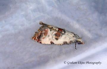 Cochylis molliculana 6 Copyright: Graham Ekins
