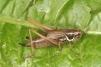 Metrioptera roeselii Copyright: Peter Harvey