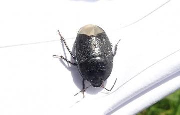 Forget-me-not shieldbug Copyright: Chris Gibson