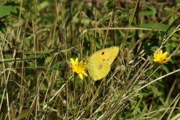 Clouded Yellow - 20th August 2013 Copyright: Ian Rowing