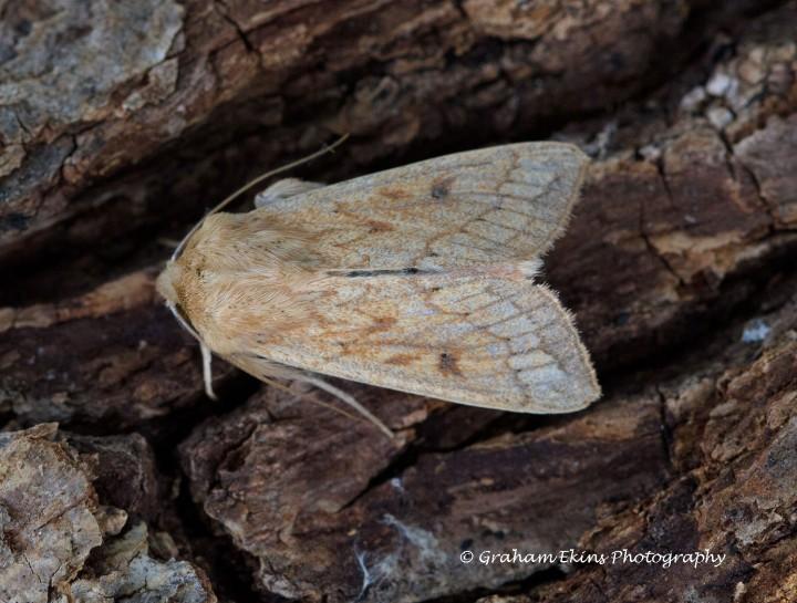 Delicate Mythimna vitellina 2 Copyright: Graham Ekins
