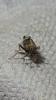 Dicranotropis hamata 3 Copyright: Raymond Small