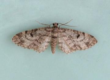 Dwarf Pug  Eupithecia tantillaria Copyright: Graham Ekins