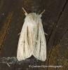 Reed Dagger  Simyra albovenosa 2 Copyright: Graham Ekins