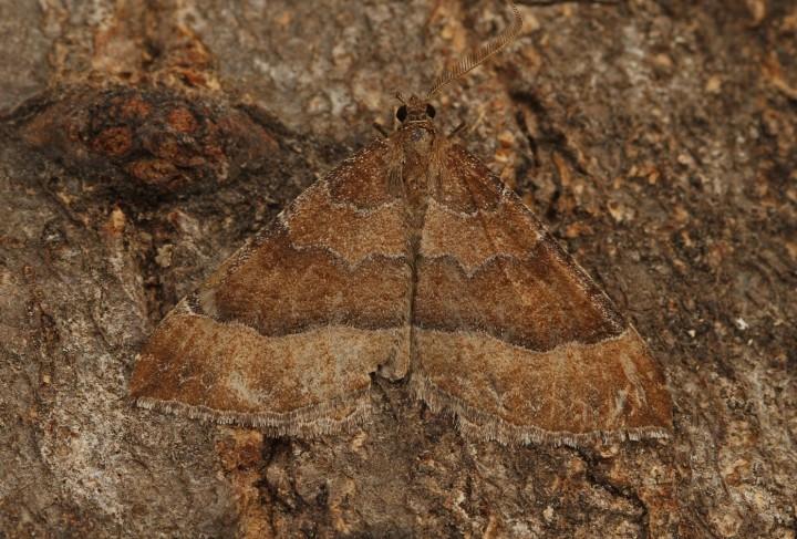 Mallow  Larentia clavaria Copyright: Graham Ekins