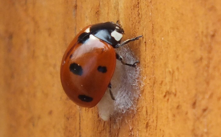 7-Spot Ladybird with Dinocampus chrysalis Copyright: Peter Pearson