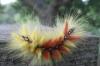 Caterpillar stage of Acronicta aceris (2) Copyright: Justin Carroll
