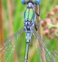 Scarce Emerald Damselfly 3 Copyright: Graham Smith