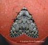 Small Black Arches   Meganola strigula Copyright: Graham Ekins