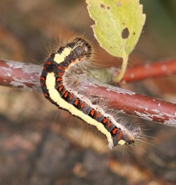 larvae Copyright: Robert Smith