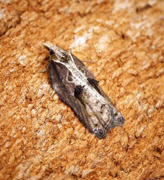 Acleris cristana 11 Copyright: Ben Sale