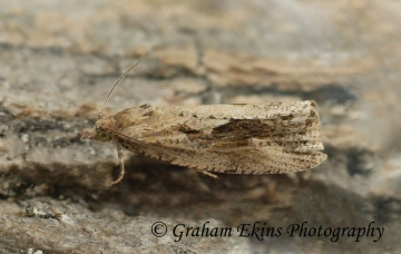 Endothenia quadrimaculana GD Copyright: Graham Ekins