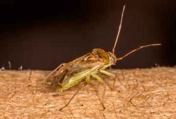 Pinalitus cervinus Copyright: Bill Crooks