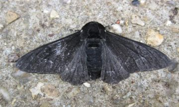 Peppered Moth Carbonaria. Copyright: Stephen Rolls