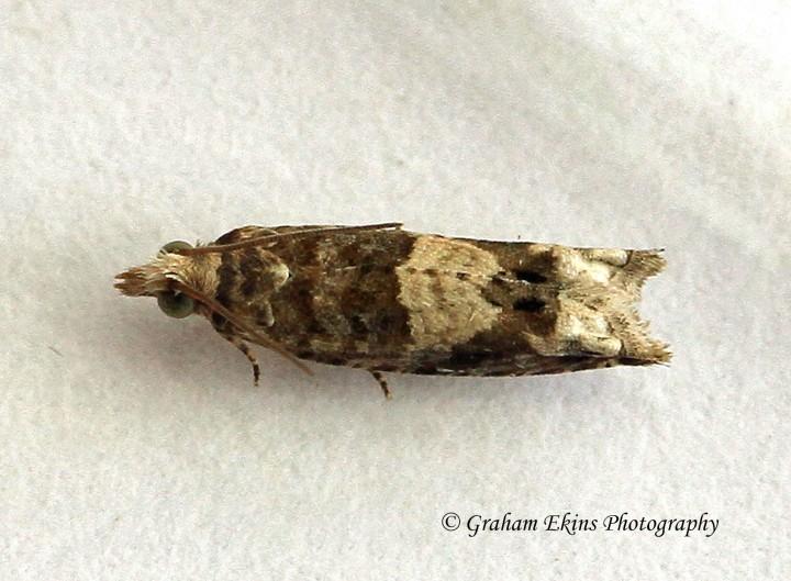 Epinotia demarniana  2 Copyright: Graham Ekins