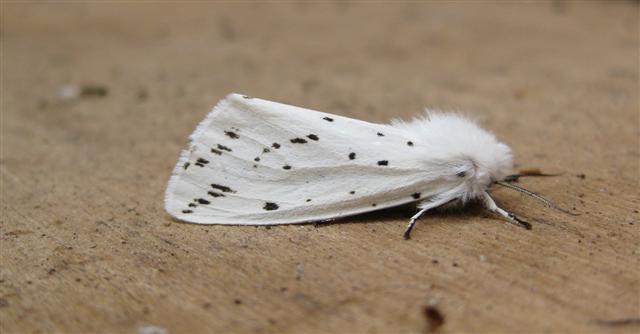 White Ermine 2 Copyright: Stephen Rolls