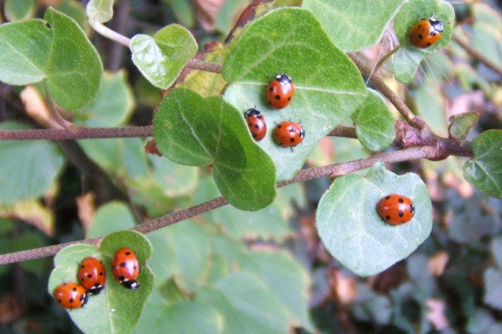 7-Spots sunning on ivy Copyright: Peter Pearson