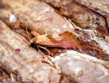 Cochylis roseana Copyright: Ben Sale