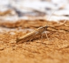 Ypsolopha ustella 10 Copyright: Ben Sale