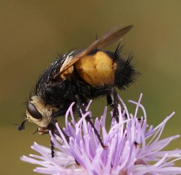 Nowickia ferox - side Copyright: Robert Smith