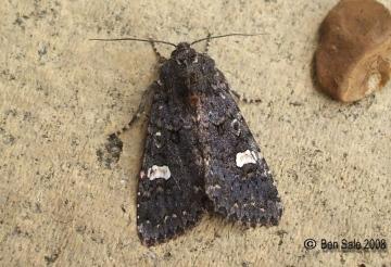 Dot Moth 3 Copyright: Ben Sale