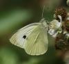 Large White (female) Copyright: Robert Smith